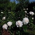 Festiva Maxima #kwiaty #ogródek #peonie #róże