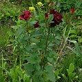 Hocus-Pocus #kwiaty #odród #róże