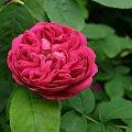 Rose de Resht #kwiaty #ogród #róże