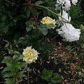 Kings Ransom #kwiaty #odród #róże