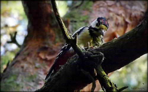 dzięcioł #dzicioł #ptak