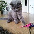 #brytyjski #kot #kotek #niebieski #rasowy