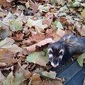 spacer w liściach (po usg) 21-10-2013 #fretka #jesień #Pimpuś #spacer #SPF #usg