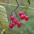 Czerwone Owoce #Łąka #Polska #Przyroda