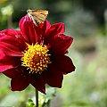 #kwiaty #działka #ogród #hobby #czerwony