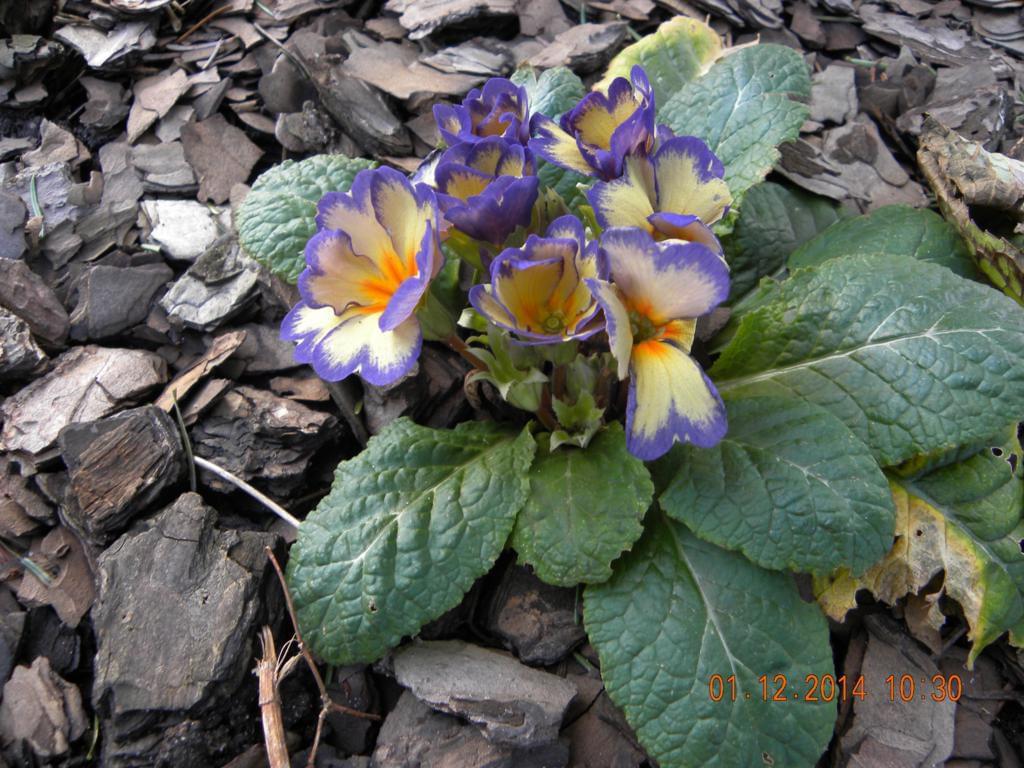 Zobacz wątek - Pierwiosnek z kwiaciarni, uprawa w gruncie