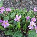 wiosenne kwiatuszki #krokus #krokusy #kwiatki #kwiaty