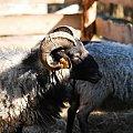 wrzosówki #owce