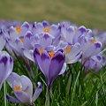 Krokusy 5 kwietnia 2014 #Tarty #krokus #krokusy #DolinaChochołowska #wiosna