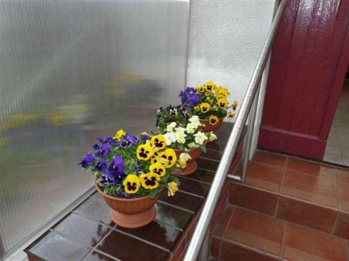 """""""Murek"""" przy schodach #bratki #kwiaty #ogród #rośliny #schody"""