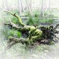 Zielony potwór #Czołpino #drzewa #piaski #przyroda #rezerwat #wydmy #WydmyCzołpino