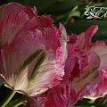 kwiaty 2014 #tulipany #tulipan #TulipanyPapuzie