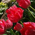 kwiaty 2014 #tulipan #tulipany #TulipanyNn