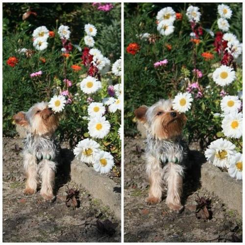 moja psina w romantycznym nastroju ;) #psy #zwierzęta