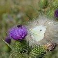 Motylek i pszczółka:) #fauna #flora #przyroda #rośliny #zwierzęta