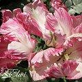 #tulipan #tulipany #TulipanyPapuzie