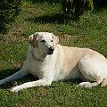 Gardenia #Gardenia #Pies #Labrador